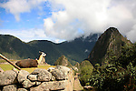 South America, Peru, Machu Picchu. Llama enjoying the view over Machu PIcchu.