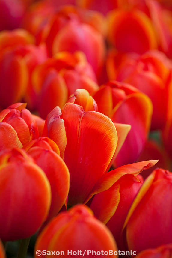 Red tulips flowering at Filoli
