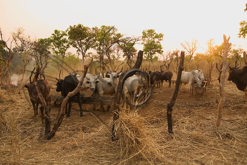 Conflicts are frequent between Gbayan farmers and Fulani cattle breeders, when the animals destroy the corn and cassava crops.