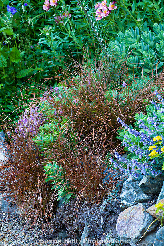 Bronze foliage Orange New Zealand Sedge Carex testacea in perennial border; Gary Ratway garden