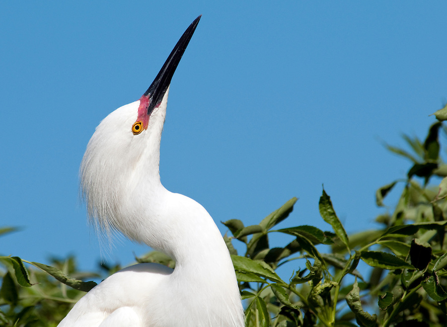 Snowy Egret perched in a tree in Florida with breeding plumage. Scientific name Egretta thula. Space for Copy.
