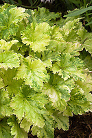 Heuchera &lsquo;Strawberries and Cream&rsquo; foliage variegated leaves perennial plant