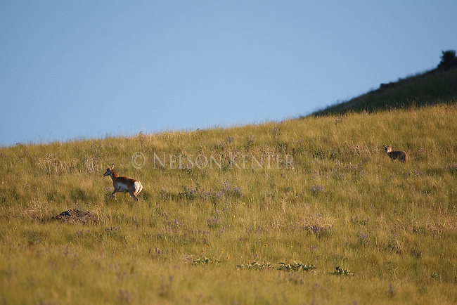 Pronghorn Antelope doe and coyote in Montana