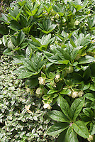Hellebores and vinca