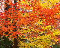 Autumn Maples along Roaring Fork, Great Smoky Mountains National Park, Appalachian Mountains, Tennessee