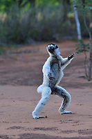 Verreaux's Sifaka jumping locomotion (Propithecus verreauxi), Berenty Private Reserve, Madagascar
