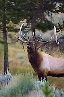 Bull elk (Cervus canadensis) may have five to eight or more tines on each antler; however, the number of tines has little to do with the age or maturity of a particular animal. The formation and retention of antlers is testosterone-driven. After the breeding season in late fall, the level of pheromones released during estrus declines in the environment and the testosterone levels of males drop as a consequence. This drop in testosterone leads to the shedding of antlers, usually in the early winter.<br /> Swan Lake Flats, Yellowstone.