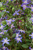 Clematis 'Arabella' (I) climbing vine with blue mauve flowers, perennial on wicker trellis, easy to grow climber