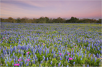 The sun was fading fast in the west and I caught the dying light of the east as I looked across the large field of Texas bluebonnets near Stockdale. There were black cows in the distance, but they soon ambled away when I arrived.
