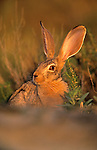 Cape hare, Lepus capensis, Kgalagadi Transfrontier national park, South Africa