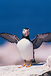 Atlantic puffin, Maine, USA