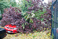 A tree uprooted onto a car in the New York neighborhood of Chelsea from the high winds of Hurricane Sandy is seen on Tuesday, October 30, 2012. Hurricane Sandy roared into New York disrupting the transit system and causing widespread power outages. Con Edison is estimating it will take four days to get electricity back to Lower Manhattan. (© Richard B. Levine)