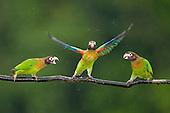 Brown-hooded Parrots (Pyrilia haematotis)