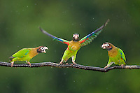 Brown-hooded Parrots (Pyrilia haematotis)