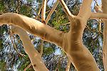 T-045 Eucalyptus tree in Petach Tikvah