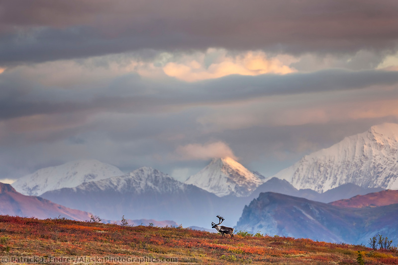 Bull caribou stands on a mountain ridge with clouds obscuring the snow covered Alaska range mountains, Denali National Park.