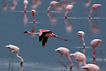 African Flamingos gather at a lake in the Ngoro Ngoro crater in Tanzania June 19, 2003. .