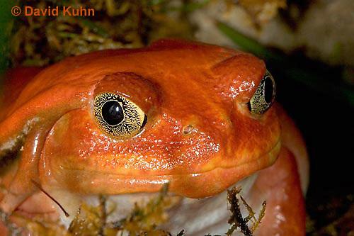 1216-07qq  Tomato Frog - Dyscophus antongili - © David Kuhn/Dwight Kuhn Photography.
