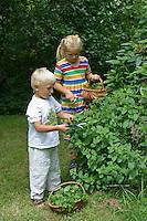 Kinder ernten Kräuter, Zitronen-Melisse, Zitronenmelisse, Melisse, Melissa officinalis, Bee Balm, Lemon Balm, Citronnelle, Mélisse, Ernte
