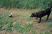 Young Striped Skunk (Mephitis mephitis) in its defensive and spraying posture near a large dog. North America....
