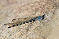 338570020 a wild blue-phase female sooty dancer argia lugens perches on a rock in piru creek in northern los angeles county california