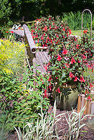 Fuchsia in pot container, ornamental grass, Sambucus, garden bench made of bamboo, Asian Oriental feel, Phalaris ribbon grass