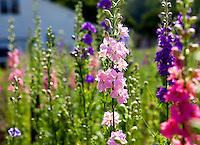 Larkspur growing in Heirloom flower farm; Lisa Ziegler Gardeners Workshop