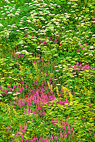 7117600010 dwarf fireweed chamerion latifolium and cow parsnips heracleum maximum wildflowers blanket a hillside also covered in ferns near hatcher pass alaska