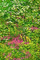 7117600010 dwarf fireweed chamerion latifolium and cow parsnips heracleum maximum wildflowers blanket a hillside also covered in ferns near hatcher pass alaska