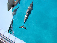 Spinner dolphins of Kauai, HI frolic around the bow of catamaran boat tours of the Na Pali Coast.