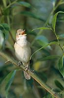 Sumpfrohrsänger, singend, Sumpf-Rohrsänger, Rohrsänger, Acrocephalus palustris, marsh warbler