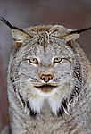 Canadian lynx, Montana