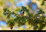 Mountain Chickadee, Poecile gambeli, Rainbow Point, Bryce Canyon National Park, Utah