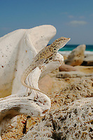 A Abdel Kuri Rock Gecko (Pristurus abdelkuri) basking on marine fossils. This species, endemic to Socotra, lives only and exclusively in few shores on the Socotra Island, Yemen.