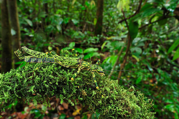 Camouflaged Stick Insect on moss, Phasmatodea, Tanjung Puting National Park, Kalimantan, Borneo, Indonesia