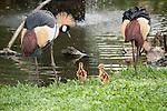 Bali, Indonesia; Grey Crowned Crane (Balearica regulorum) parents and chicks alongside a stream