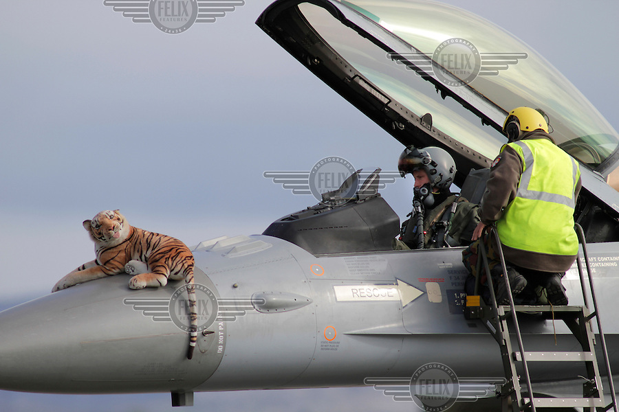Belgian F-16 with tiger on its nose. Nato Tiger Meet is an annual gathering of squadrons using the tiger as their mascot. While originally mostly a social event it is now a full military exercise. Tiger Meet 2012 was held at the Norwegian air base Ørlandet.