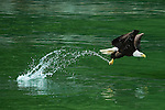 A bald eagle in southeastern Alaska swoops down to snatch a fish but misses it this time.  Bald eagles are the second largest eagle on the North American continent, behind the golden eagle, and live for up to thirty years.