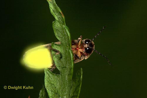1C24-821z  Pyralis Firefly - Lightning Bug - Male - Photinus spp.