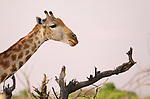 Giraffe (Giraffa camelopardalis), Hwange National Park, Zimbabwe