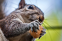 A squirrel eats an almond in a tree in Holly Hill, Florida (Photo by Brian Cleary/www.bcpix.com)