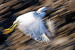 Egret in a Hurry, Back Bay, CA.