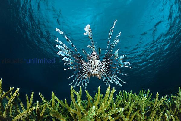 Lionfish (Pterois volitans), Indonesia.