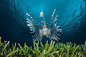 Lionfish (Pterois volitans), Indonesia.