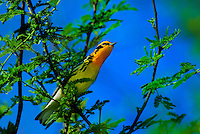 591450004 a wild male blackburnian warbler setophaga fusca on south padre island texas united states