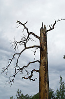 Large dead tree in New Mexico