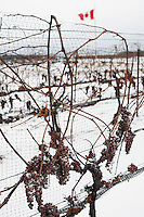 Vidal ice wine grapes waiting for -10 degree celsius weather to be picks. January 14, 2012. © Allen McEachern.