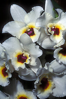 Dendrobium nobile hybrid