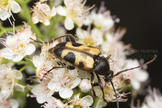 A Flower Longhorn beetle (Judolia cordifera) feeds on pollen.