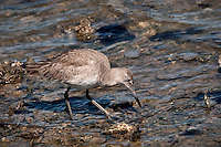 Willet feeding in the surf